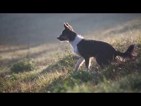 Border Collie Rey and shetland sheepdog Snitch