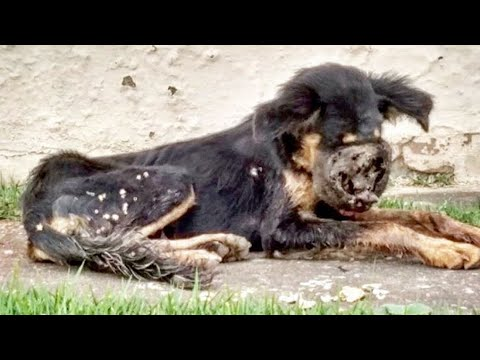 Rescued Abandoned Dog with Completely Deformed Face Eaten Alive By Larvae