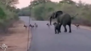 Elephant Mom Won't Let ANYONE Mess With Her Baby