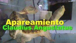 Ritual de Apareamiento de Tortuga Claudius Angustatus