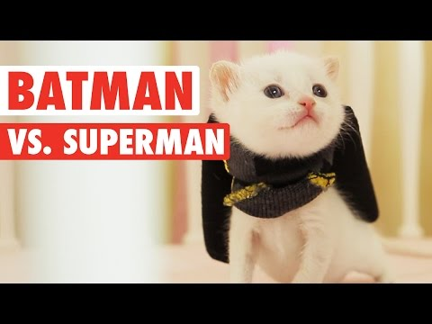 Batman vs Superman || Funny Kitten Parody