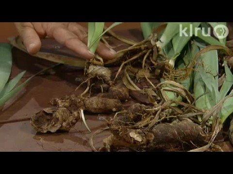 Dividing Bearded Iris|Trisha Shirey| Central Texas Gardener