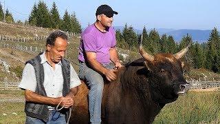 Kako je bik Struja preživio udar 6000 volti