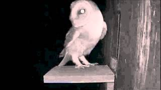 Barn Owl Visit's The Little Owl's Nest Box  4:38am  04 15 2013