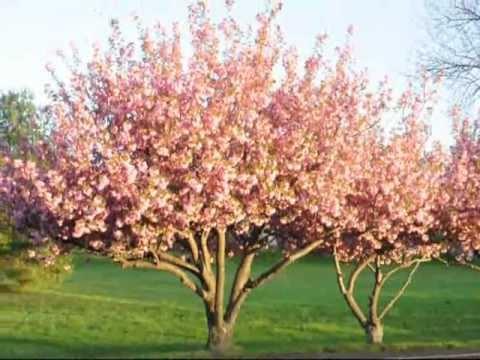 A Pink Flowering Cherry Tree For Your Landscape Youtube
