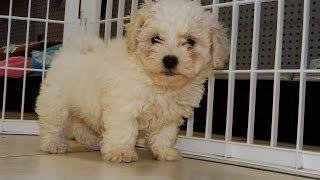 Shih Chon, Puppies For Sale, In, Richmond, Virginia, West, VA, Newport, County, Alexandria, 19Breede