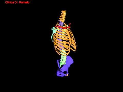 Animación en 3D de un tórax humano Animation in 3D of a human chest ...