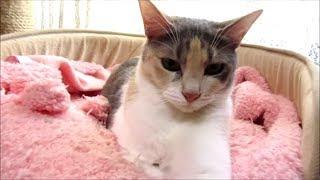飼い主を冷めた目で見る猫 寧々が無愛想それでも可愛い