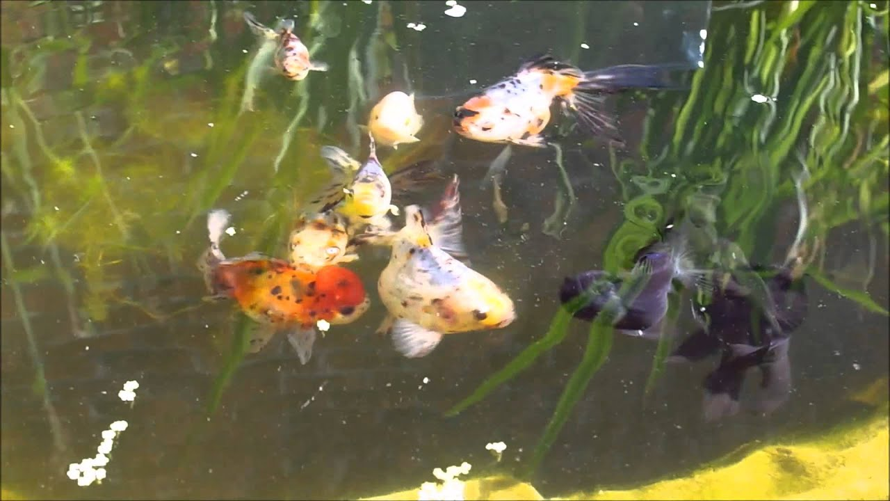 poissons japonais en bassin youtube