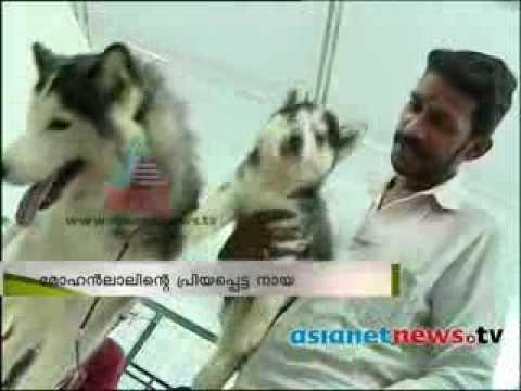 Mohanlal Imported Storm A Siberian Husky Show Youtube