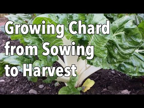 growing-chard-from-sowing-to-harvest