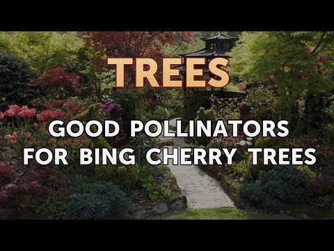 Good Pollinators for Bing Cherry Trees