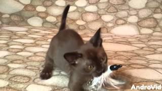 Бурманские котята, питомник Burmorion