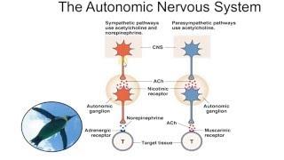 Биология в картинках: Симпатическая и парасимпатическая нервная система (Вып. 50)
