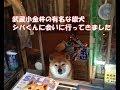 武蔵小金井の鈴木タバコ店の看板犬 シバくんに会ってきた。