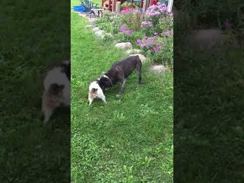 Parson Russell Terrier VS Bulldogge Playtime Battle