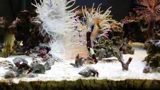 我が家の水族館『ハタタテネジリンボウ 5人衆』