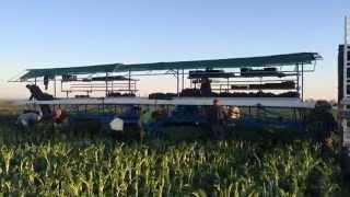 Green Kale Harvest in Le Grand, CA April 2014.