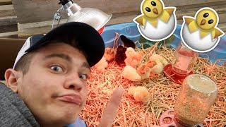 I GOT BABY CHICKS!!!