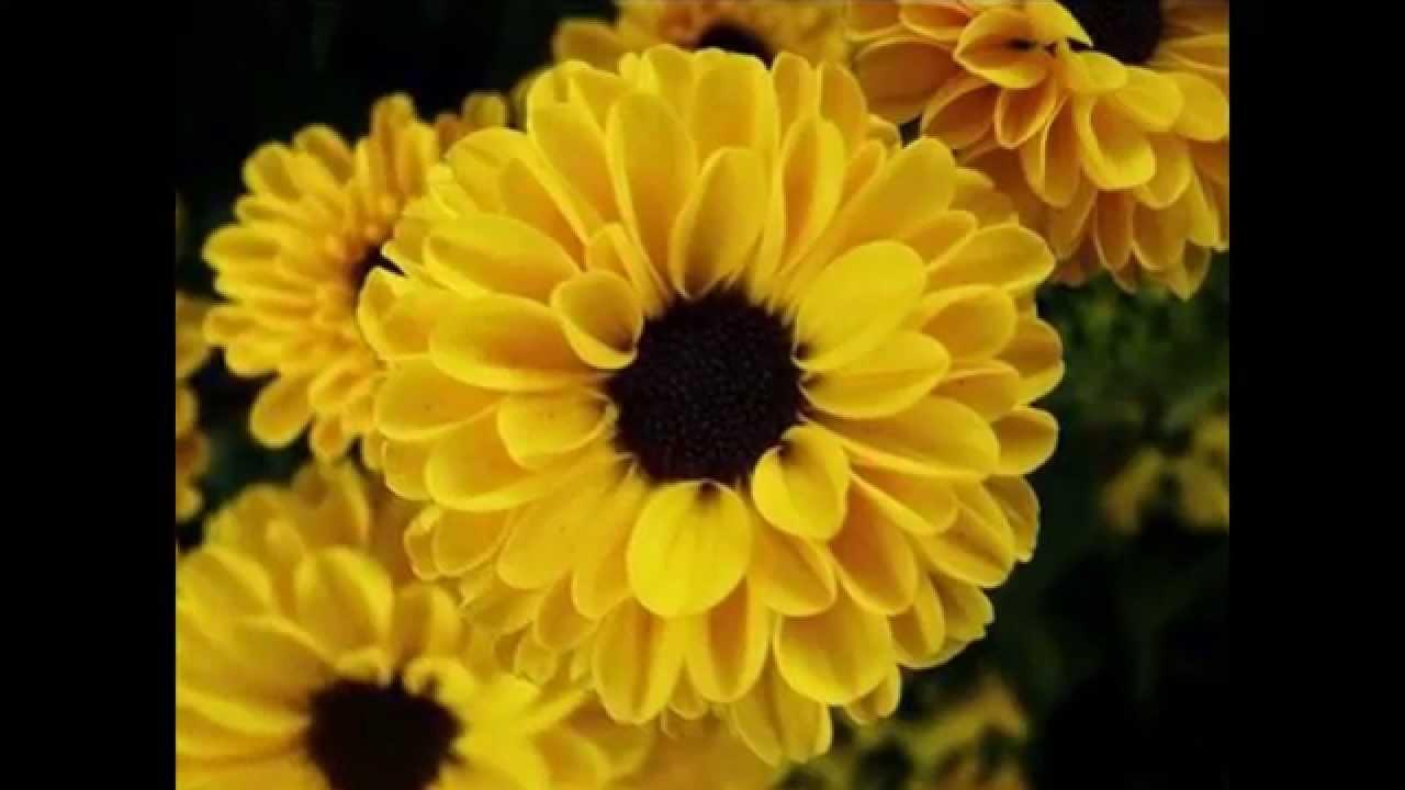 Yellow flowers symbol of friendship youtube mightylinksfo