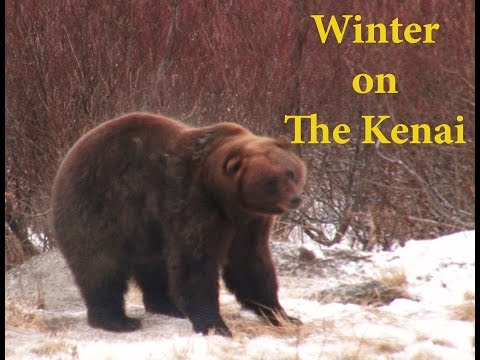 Kenai Alaska Winter  - Alaska Brown Bear