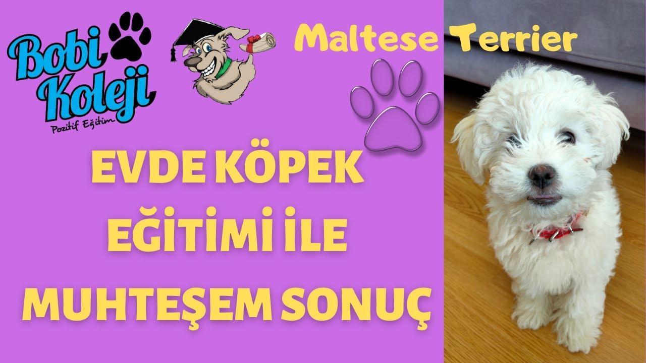 Evde köpek eğitimi ile yavru Maltese Terrier Her şeyi öğrendi. İzmir köpek eğitimi.