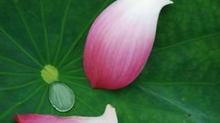 Video Golden Lotus/AsiaBeat,Lotus , Ruby & Diamond  荷花、鑽石&紅寶石 download MP3, 3GP, MP4, WEBM, AVI, FLV Agustus 2018