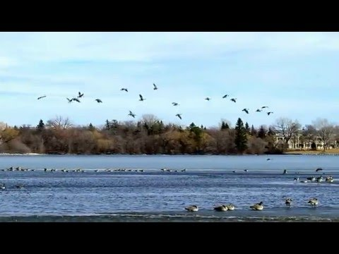 Canada Geese Landing On Wascana Lake by Jared Mysko