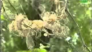 видео Плодожорка на яблоне: методы борьбы с червями, гусеницами, паутиной
