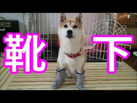柴犬小春 犬に靴下を履かすと面白いと聞いたので履かせてみた結果・・・