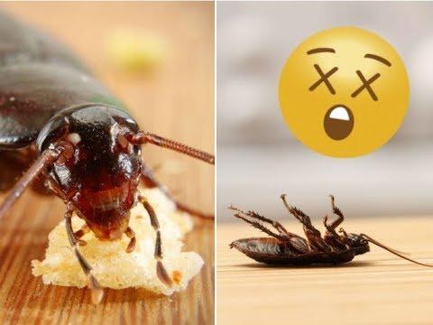 Como matar cucarachas trucos caseros como acabar o el - Como terminar con las hormigas en casa ...