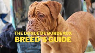 Dogue de Bordeaux Dog Breed Information
