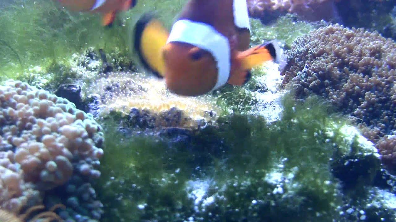 Deposizione uova pesci pagliaccio acquario marino youtube for Deposizione uova tartarughe