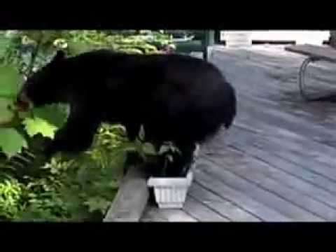 Black Bear VS Devil's Club- Alaska Entertainment