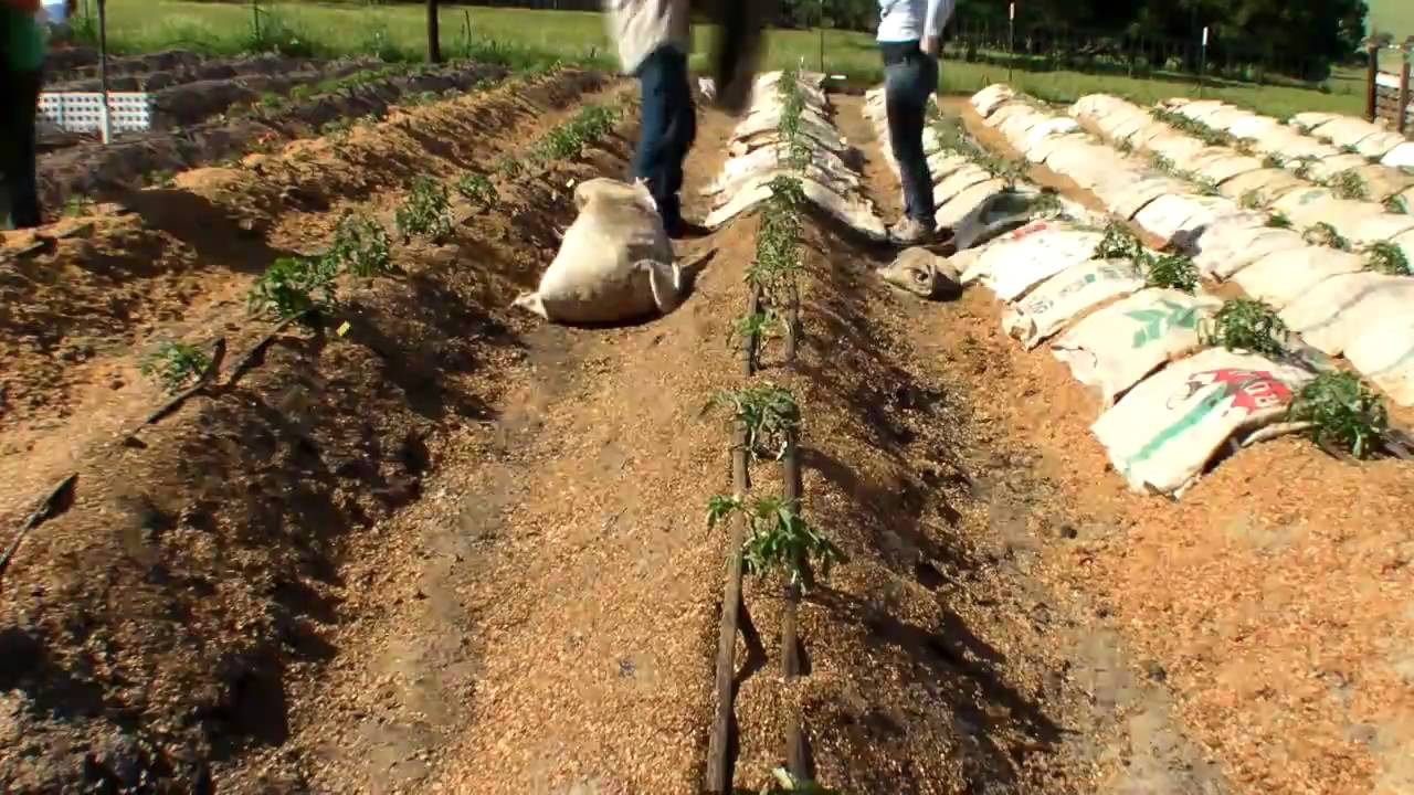 Working In Sawdust ~ Tomatoes burlap sawdust mp youtube