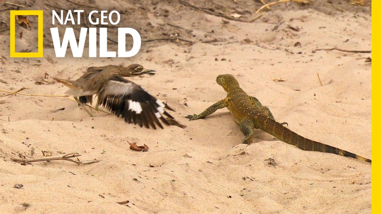 Bird vs  Lizard   Real Angry Birds