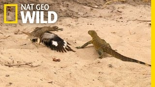 Bird vs. Lizard | Real Angry Birds