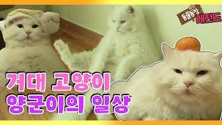 [TV 동물농장 레전드] '거대 고양이 양군이 사는 법' 풀버전 다시보기 I TV동물농장 (Animal Fa…
