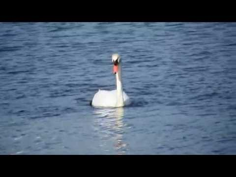 Vuelo de los cisnes