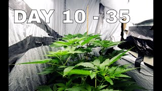Cannabis growing time-lapse of Vegetative-stage
