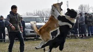 ДРЕССИРОВКА СОБАК / СОБАКИ УБИЙЦЫ! Кто собака для тебя ? как дрессировать собаку ?