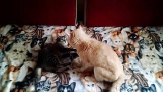 Старый кот Баджо, 20 лет, обучает молодую кошку Джойю приемам кошачьего кунг-фу)