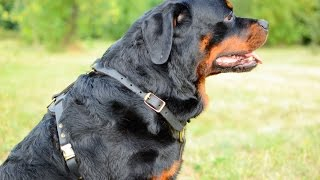 Rottweiler In Fashionable Dog Harness Felt Padded On Breast Plate