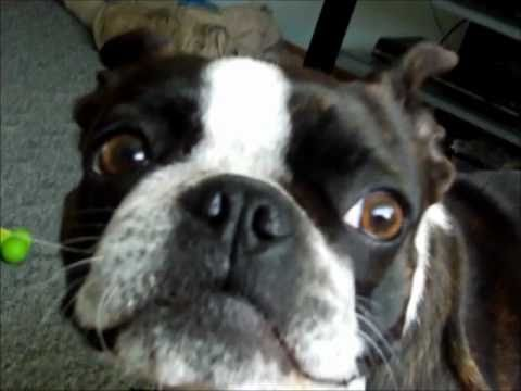 Do Boston Terriers Like Walks? - funny!