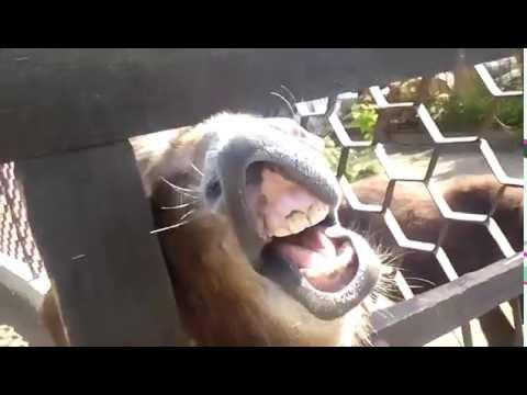 Осел ржет. Осел показывает зубы. a donkey