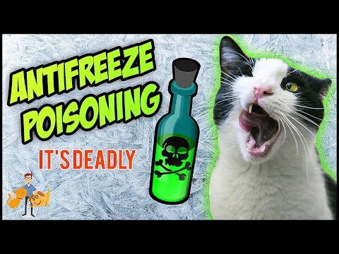 Antifreeze Poisoning In Cats: how much will KILL + can they survive