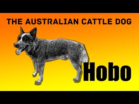 Australian cattle dog Hobo trying to fetch 3 balls. Mental exercises for blue heelers