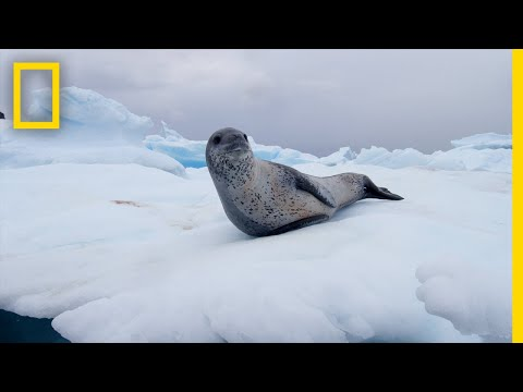 Leopard Seals Play and Hunt in Antarctica | National Geographic