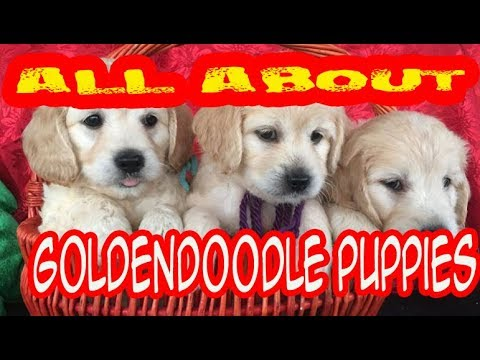A Goldendoodle is a cross-breed obtained by breeding a golden retriever