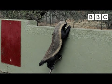 Stoffel, the honey badger that can escape from anywhere! - BBC